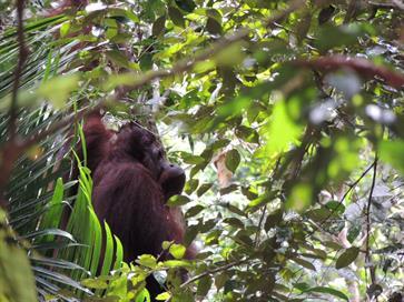Lebendiger Orang-Utan Regenwald